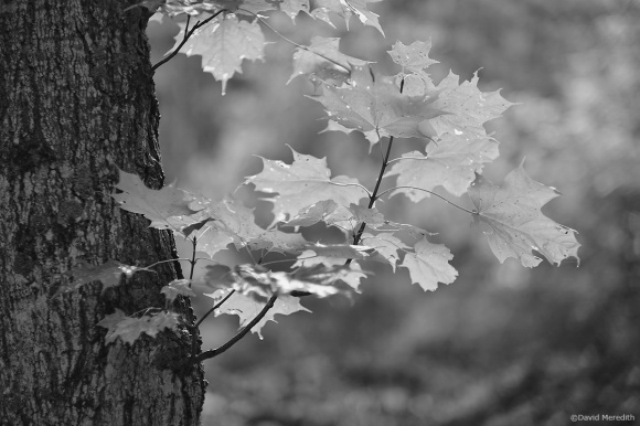 2020: Backlit Maple leaves in Monochrome