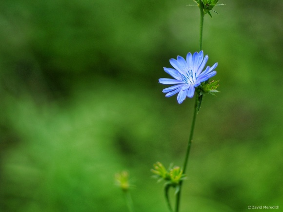 Portrait of a Chicory flower.