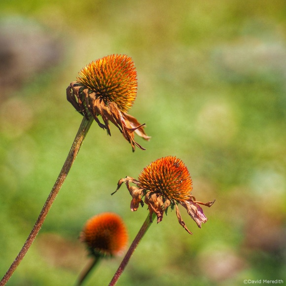 Three of a Kind: Fading Coneflowers