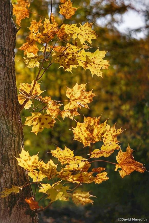 2020: Backlit Autumn Maple Leaves