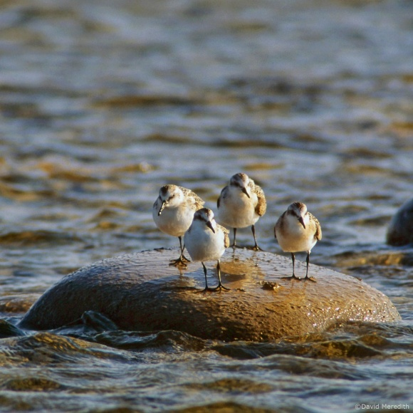 Four young Sanderling