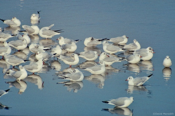Saturday Bird: Black-headed Gulls
