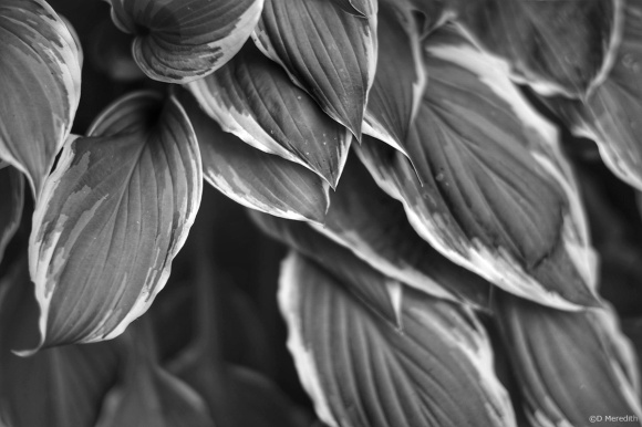 CBWC: Hosta Leaves Detail