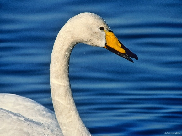 Saturday Bird: Whooper Swan