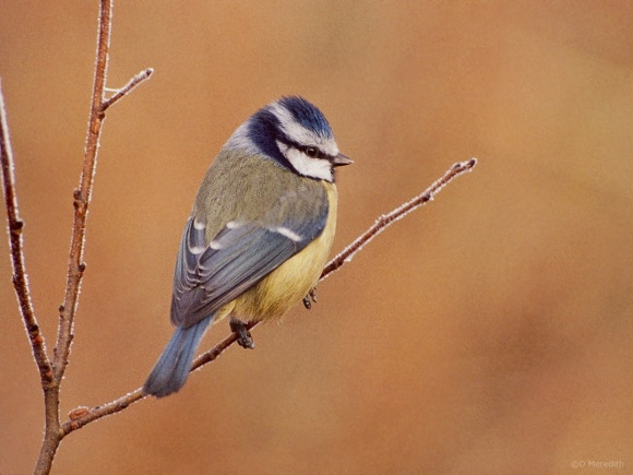 Saturday Bird: Eurasian Blue Tit