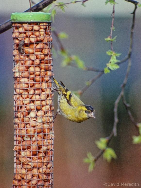 Saturday Bird: Eurasian Siskin