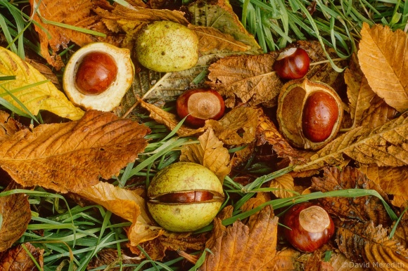Flora and Fauna Friday: Horse Chestnut