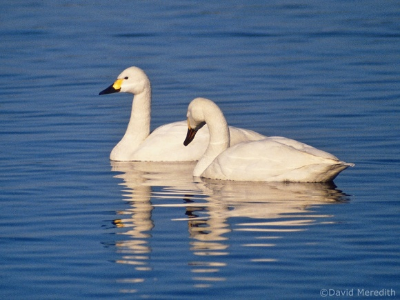 Saturday Bird: Bewick's Swan