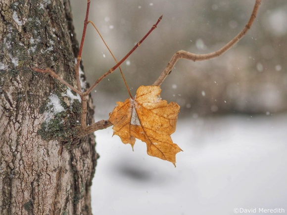 Six Word Saturday: Solitary Maple Leaf in the Snow