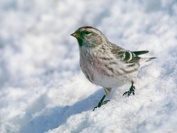 Saturday Bird: Common Redpoll