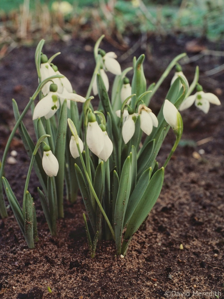 Flora and Fauna Friday: Snowdrops