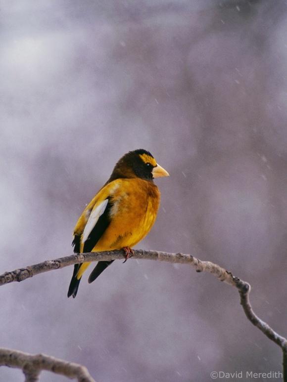 Saturday Bird: Evening Grosbeak
