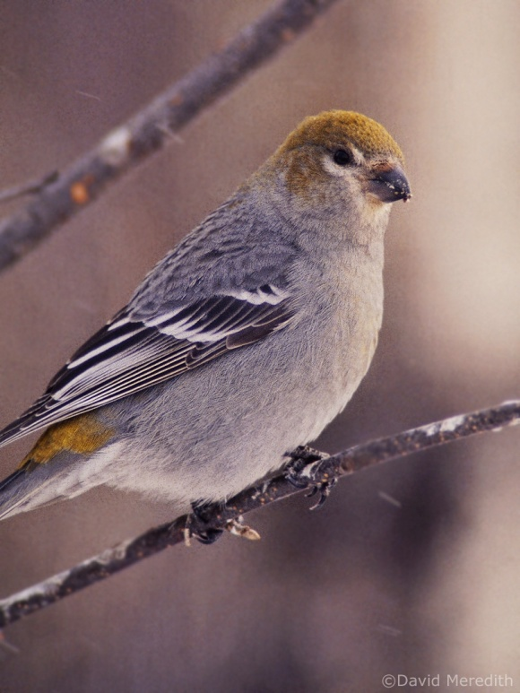 Saturday Bird: Pine Grosbeak