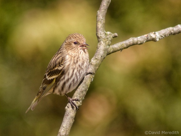 Saturday Bird: Pine Siskin