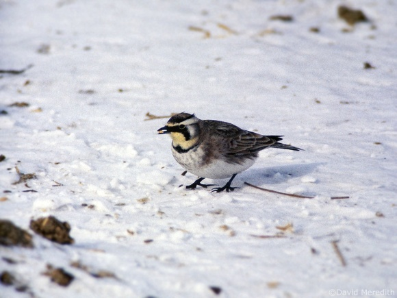 Saturday Bird: Horned Lark or Shore Lark