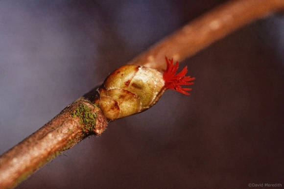 Flora and Fauna Friday: Common Hazel
