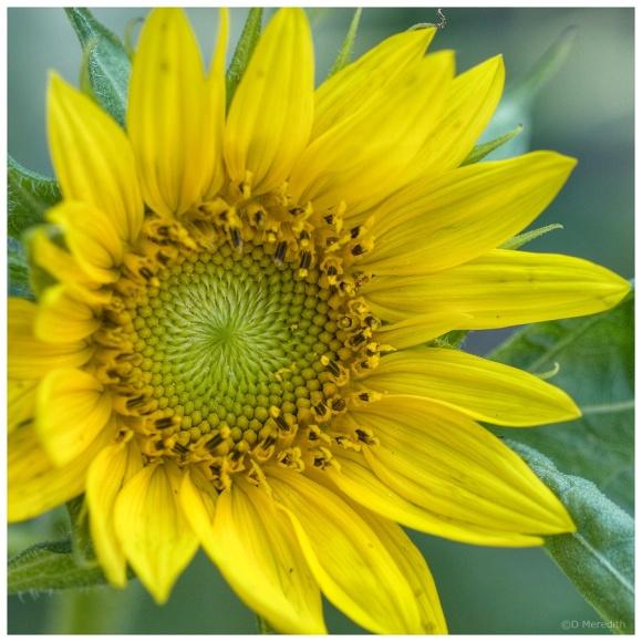 April Squares: Bright Sunflower