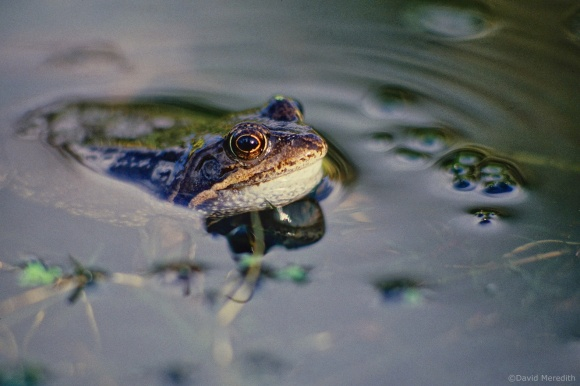 Flora and Fauna Friday: Common Frog