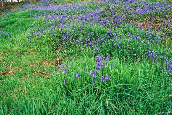 Flora and Fauna Friday: Bluebells