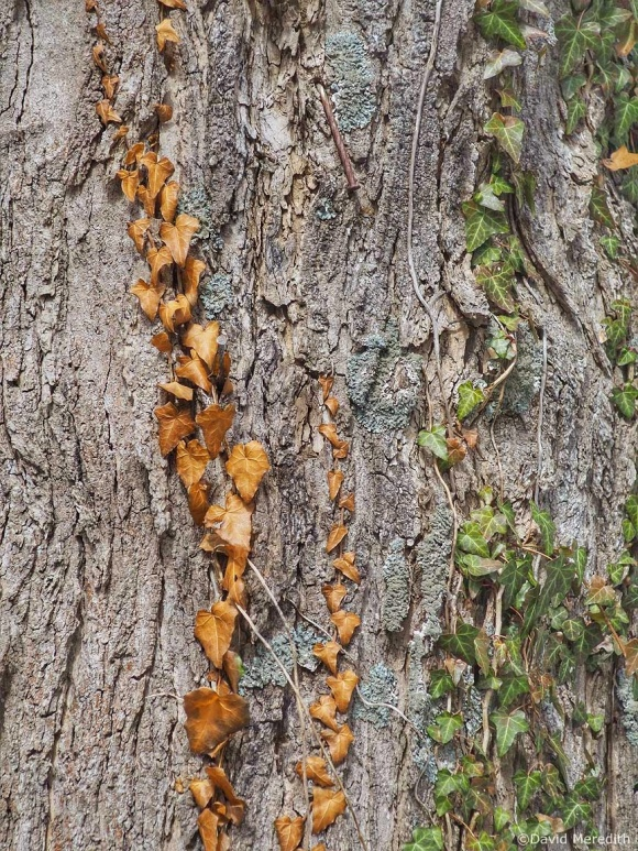 Six Word Saturday: Ivy Growing up a Tree Trunk