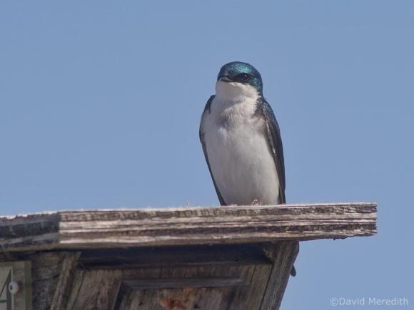 Saturday Bird: Tree Swallow