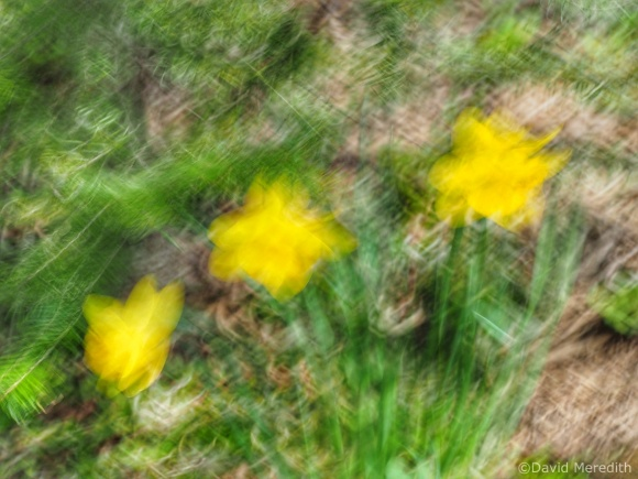 2021: Intentional camera movement of Daffodils