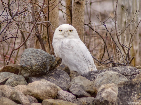 Saturday Bird: Snowy Owl