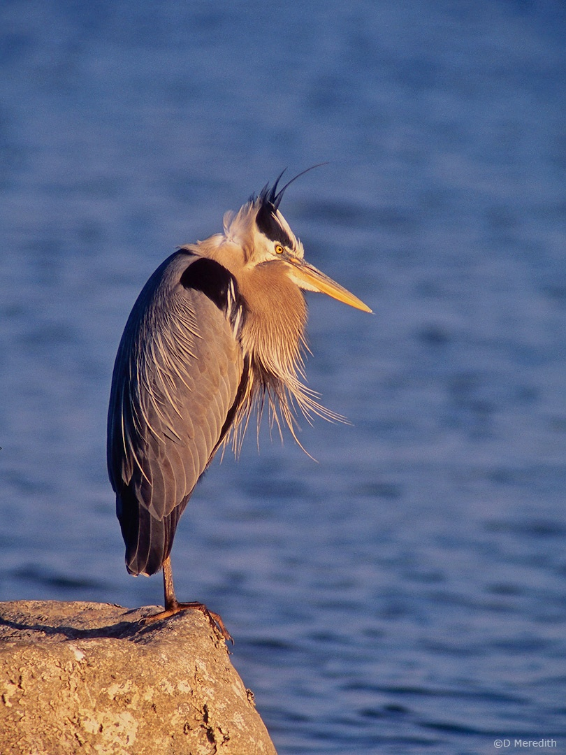 Flora and Fauna Friday: Great Blue Heron