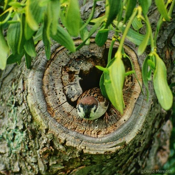 Flora and Fauna Friday: Eurasian Tree Sparrow