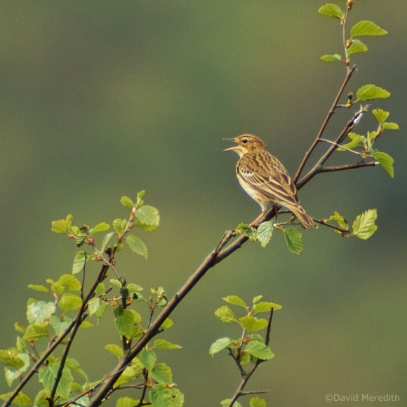 Flora and Fauna Friday: Tree Pipit