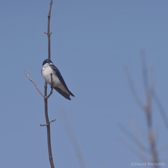 Flora and Fauna Friday: Tree Swallow
