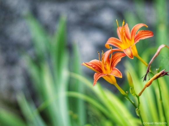 2021: Orange Daylilies