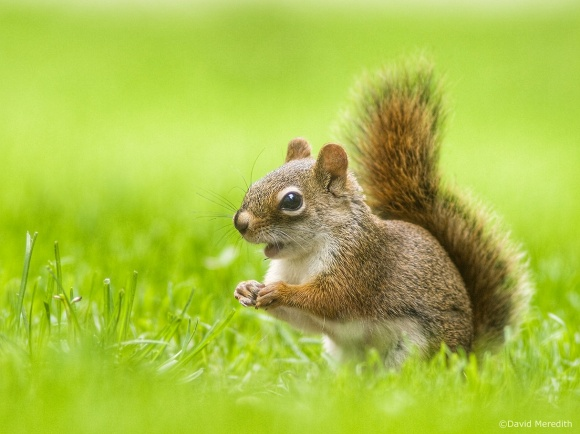 Flora and Fauna Friday: American Red Squirrel