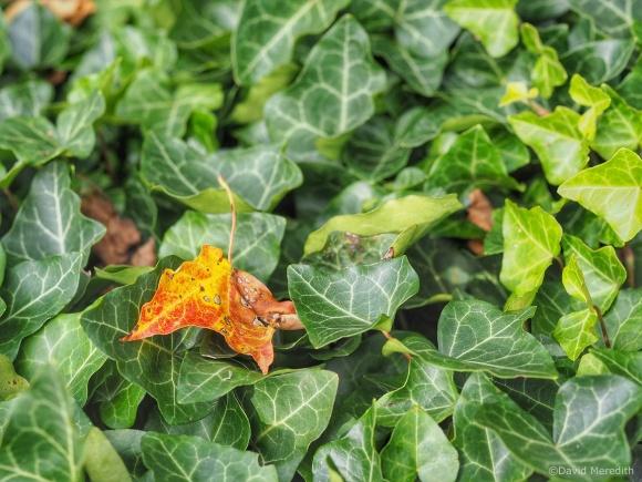 Six Word Saturday: Fallen Maple Leaf Amongst Ivy Leaves