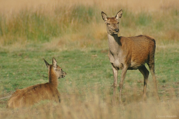Throwback Thursday: Red Deer hind and her calf