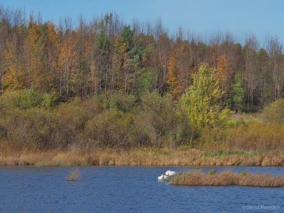 2021: Autumn Trumpeter Swans